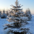 Frosted fir trees at dawn - Stock Photo