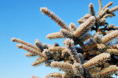 Snow-covered fir twigs — Stock Photo