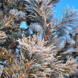 Snow-covered pine twigs — Stock Photo