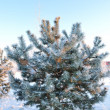 Frosted pine-tree at dawn — Stock Photo
