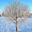 Tree in frost at dawn — Stock Photo