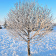 Tree in frost at dawn — Stock Photo #1470240
