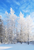 White-white birches — Stock Photo