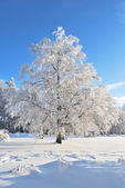 Beautiful tree in rime — Stock Photo