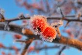 две маленькие яблоки замороженные — Стоковое фото