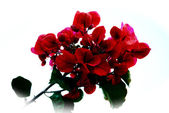 Red bougainvillea — Stock Photo