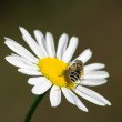 Stock Photo: Drone on chamomile 3