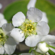 Blossoming bird cherry 2 — Stock Photo