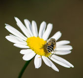 Drone on a chamomile 3 — Stock Photo