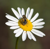 Drone on a chamomile 4 — Stock Photo
