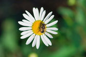 Drone on a chamomile — Stock Photo