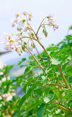 Flowering potatoes bush 2 — Stock Photo