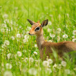 Bambi — Stock Photo