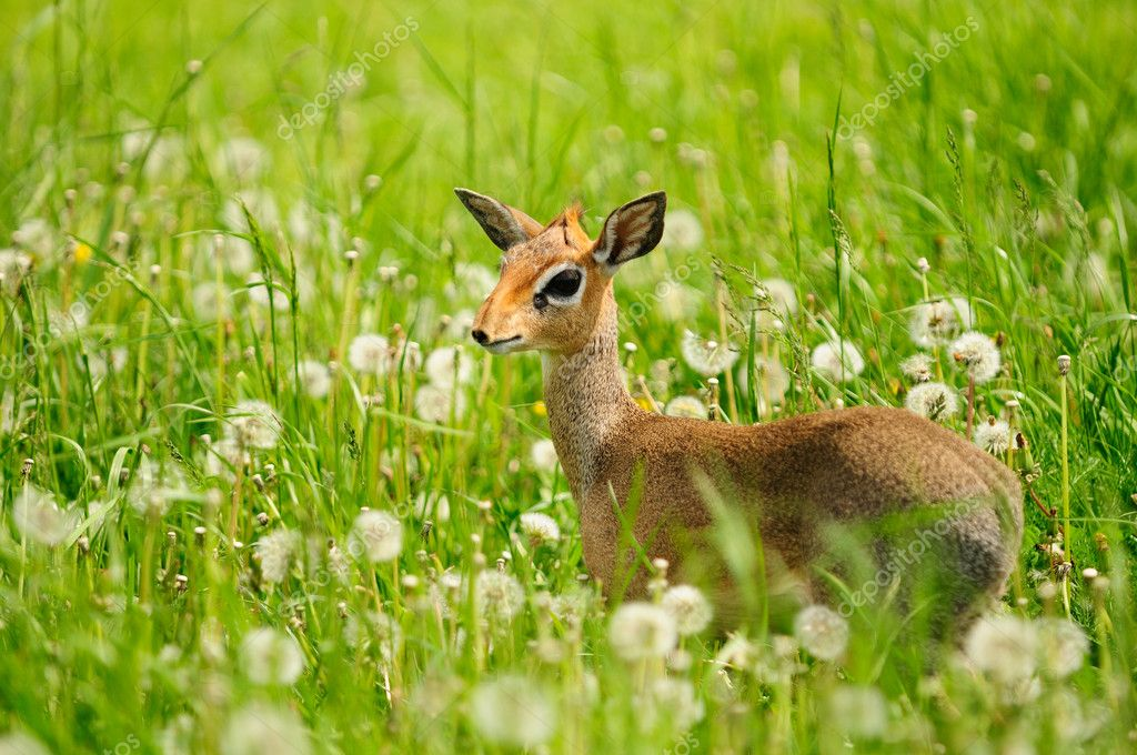 Bambi — Stock Photo #1274982