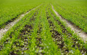 Sowed field — Stock Photo