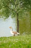 Goose & lake — Stock Photo