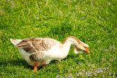 Goose & Grass — Stock Photo