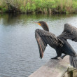 Take Off, Everglades, Florida, January 2 — Stock Photo