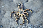 Starfish trapped on the sand, Florida, J — Stock Photo