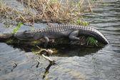 Relaxed Crocodile, Everglades, Florida, — Stock Photo