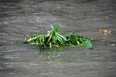 Algae in the Chao Phraya, Bangkok, Thail — Stock Photo