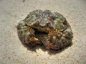 Defensive Crab, Koh Samui, Thailand, Aug — Stock Photo
