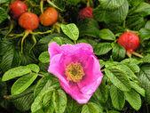 スウェーデンの花 — ストック写真