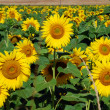 Sunflowers Meadow, Tuscany — Stock Photo