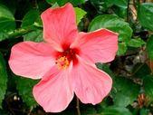 Hibiscus rosasinensis — Stock Photo