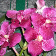 Vanda Orchids — Stock Photo