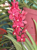 Vanda Orchids Red — Stock Photo