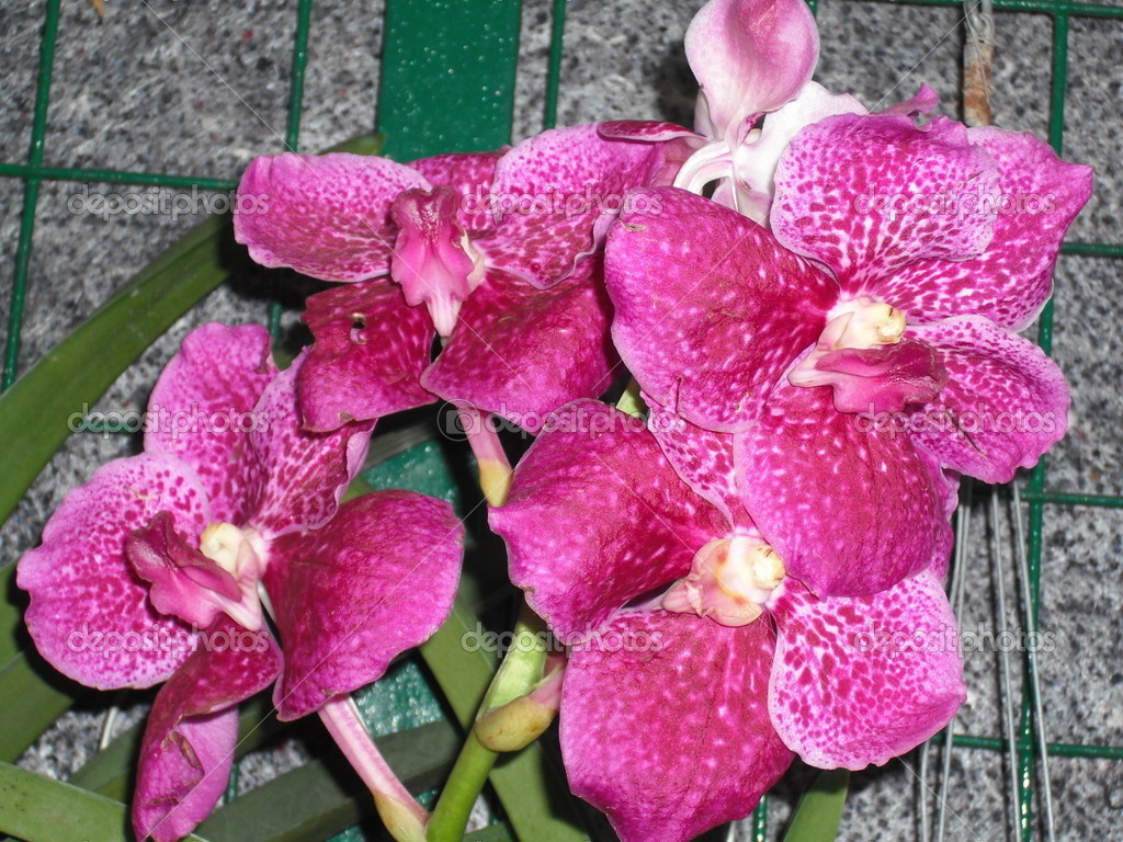 Fuschia Colored Vanda Orchid.The name Vanda is derived from the Sanskrit name for the species Vanda tessellata. — Stock Photo #1900427