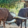 Ankole Cattle - Stock Photo