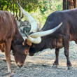 Ankole Cattle Fighting - Stock Photo