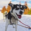 Stock Photo: AlaskHusky