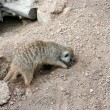 Meerkat Digging - Stock Photo