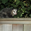 Stock Photo: Possum
