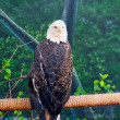 Royalty-Free Stock Photo: Bald Eagle