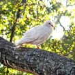 Royalty-Free Stock Photo: White Dove