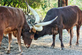 Ankole Cattle Fighting — Stock Photo