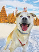 Happy Husky — Stock Photo