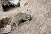 Meerkat Digging — Stock Photo