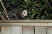 Possum — Stock Photo