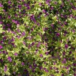 Stock Photo: Purple Flower Texture