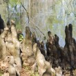 Cypress Knees — Stock Photo