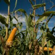 Maize Crop — Stock Photo #1251493