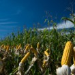 Maize Crop — Stock Photo #1251539