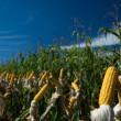 Maize Crop — Stock Photo #1251539