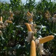 Maize Crop — Stock Photo #1251567