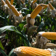 Maize Crop — Stock Photo #1251585